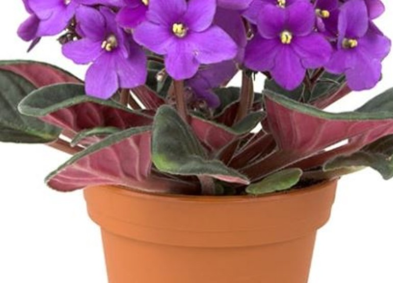 African Violet Products