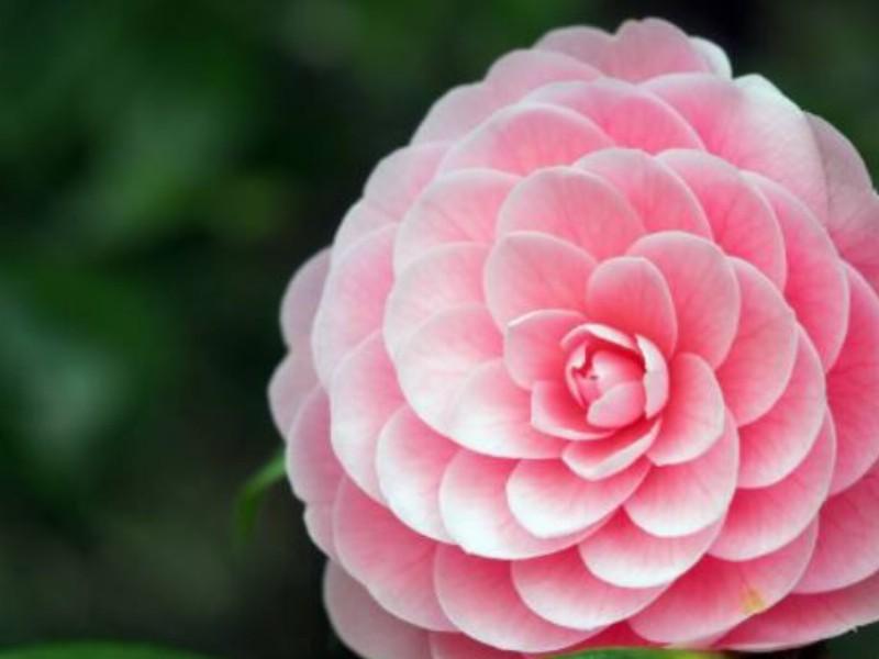 Camellias: A Guide.