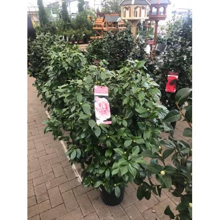 Camellia Jap. 4 Varieties.