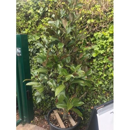 Magnolia grandiflora 'Gallisoniensis' ~ cone clipped