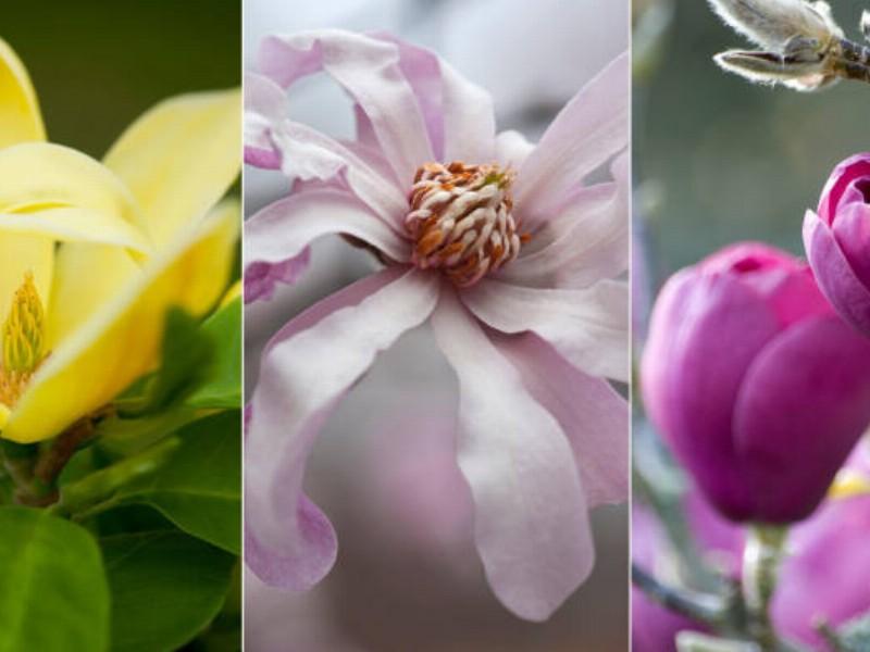 Magnolia: The magnificent heralder of spring