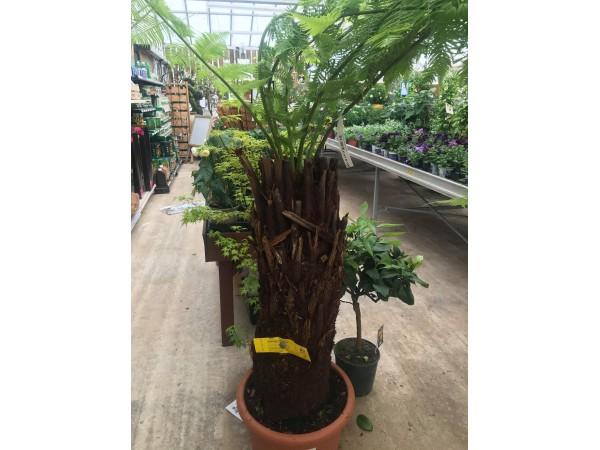 Dicksonia Antarctica Tree Fern
